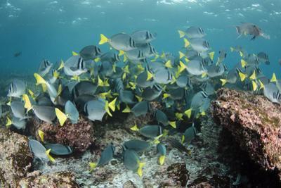 Yellowtail Surgeonfish, Galapagos Islands, Ecuador by Pete Oxford
