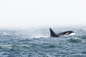 A Male Killer Whale, Orcinus Orca, with a 6-Ft Tall Dorsal Fin by Pete Ryan