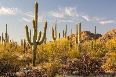 Desert Forest of Saguaro Cacti at Sunset by Pete Ryan