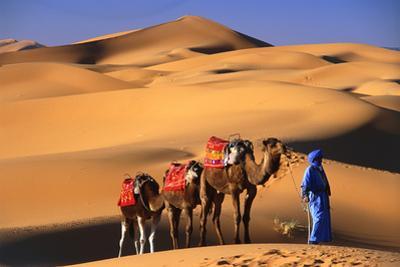 Camel in the Desert by Peter Adams