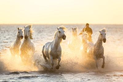 Gardian, Cowboy and Horseman of the Camargue with Running White Horses, Camargue, France by Peter Adams