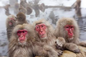 Japanese Macaque, Snow Monkey, Joshin-etsu NP, Honshu, Japan by Peter Adams