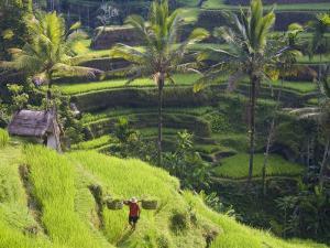 Man in Rice Fields, Nr Ubud, Bali, Indonesia by Peter Adams