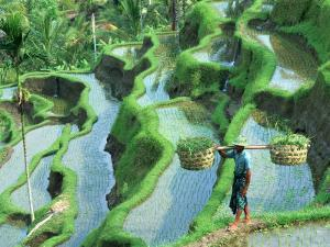 Man in Rice Paddies, Bali, Indonesia by Peter Adams