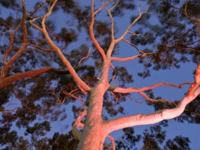 Mature Lemon Scented Gum Trees Perth, Western Australia, Australia by Peter Adams