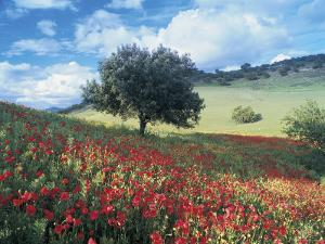 Poppies and Tree, Andalucia, Spain by Peter Adams