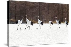 Seven Red-crowned Cranes by Peter Adams