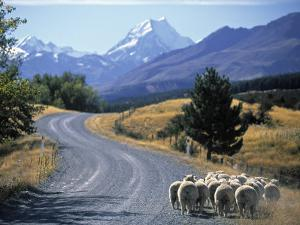 Sheep Nr. Mt. Cook, New Zealand by Peter Adams