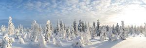 Snow Covered Trees, Riisitunturi National Park, Lapland, Finland by Peter Adams