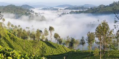 Tea Estate & morning mist, Hapatule, Southern Highlands, Sri Lanka by Peter Adams