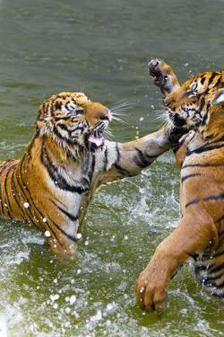 Tigers Play Fighting in Water, Indochinese Tiger, Thailand by Peter Adams