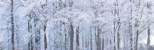 Trees with Snow and Frost, Nr Wotton, Glos, Uk by Peter Adams