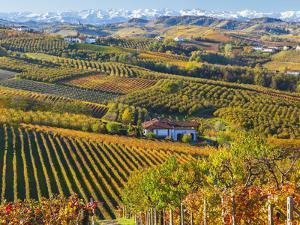 Vineyards, Nr Alba, Langhe, Piedmont (or Piemonte or Piedmonte), Italy by Peter Adams
