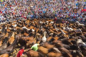 Wild Horses Rounded Up During Rapa Das Bestas (Shearing of the Beasts) Festival. Sabucedo, Galicia by Peter Adams
