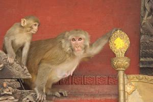 Rhesus Macaque Monkey Mother and Baby on Ancient Shrine by Peter Barritt