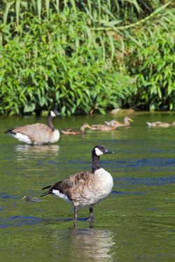 Canada Goose on the Los Angeles River, Los Angeles, California by Peter Bennett