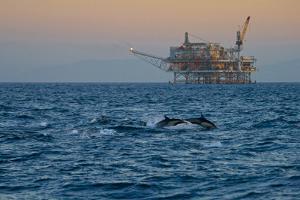 Dolphin Pod Leap Near Oil Derrick, Catalina Channel, California, USA by Peter Bennett