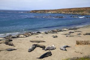 Elephant Seals, Piedras Blancas, San Simeon, California by Peter Bennett
