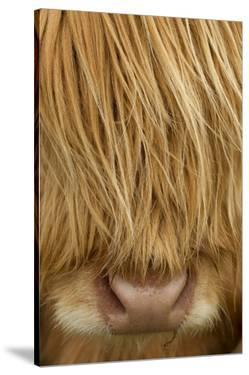 Close-Up of Highland Cow (Bos Taurus) Showing Thick Insulating Hair, Isle of Lewis, Scotland, UK by Peter Cairns
