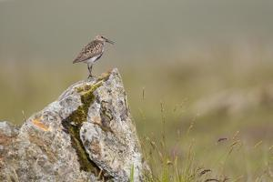 Dunlin (Calidris Alpina) in Breeding Plumage, Outer Hebrides, Scotland, UK, July by Peter Cairns