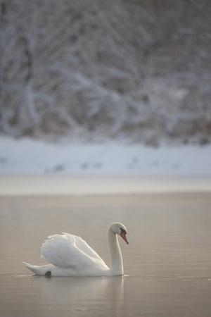 Mute Swan (Cygnus Olor) in Dawn Mist, Loch Insh, Cairngorms Np, Highlands, Scotland UK, December