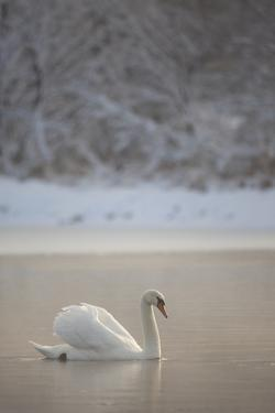 Mute Swan (Cygnus Olor) in Dawn Mist, Loch Insh, Cairngorms Np, Highlands, Scotland UK, December by Peter Cairns