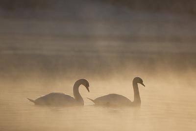 Mute Swan (Cygnus Olor) Pair on Water in Winter Dawn Mist, Loch Insh, Cairngorms Np, Highlands, UK