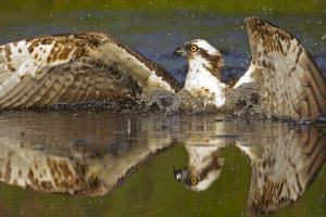 Osprey (Pandion Haliaetus) At Surface Of A Loch After Diving For A Fish by Peter Cairns