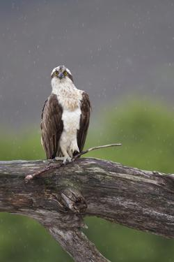 Osprey (Pandion Haliaetus) on Branch, Holding Stick, Cairngorms Np, Scotland, UK, July by Peter Cairns