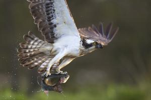 Osprey (Pandion Haliaetus) with Fish Prey, Cairngorms National Park, Scotland, UK, May by Peter Cairns