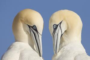 Pair of Gannets (Morus Bassanus) Mutual Preening, Bass Rock, Firth of Forth, Scotland, UK, June by Peter Cairns