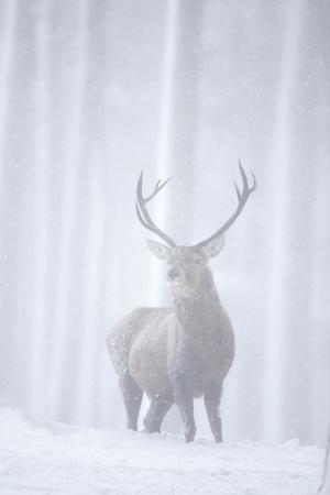 Red Deer (Cervus Elaphus) Stag in Pine Forest in Snow Blizzard, Cairngorms Np, Scotland, UK