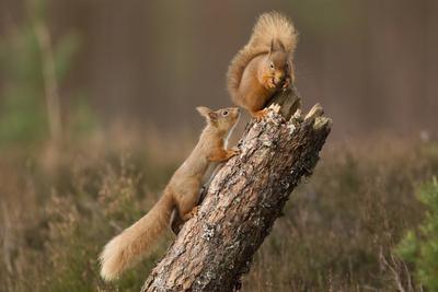 Red Squirrel (Sciurus Vulgaris) Approaching Another as it Eats a Nut, Cairngorms Np, Scotland