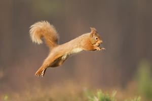 Red Squirrel (Sciurus Vulgaris) Jumping, Cairngorms National Park, Scotland, March 2012 by Peter Cairns
