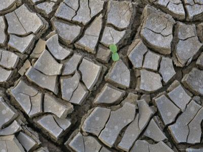 A Young Seedling Springs up Out of a Mud Crack in the Soil by Peter Carsten