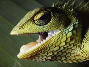 Close View of a Lizard with Its Mouth Open by Peter Carsten