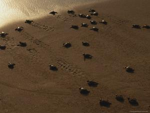 Freshly-Hatched Leatherback Sea Turtles En Route To the Sea by Peter Carsten