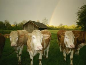 Portrait of a Group of Cows in a Lush Field by Peter Carsten