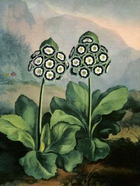 Botanical Print, Group of Auriculas by Peter Charles Henderson