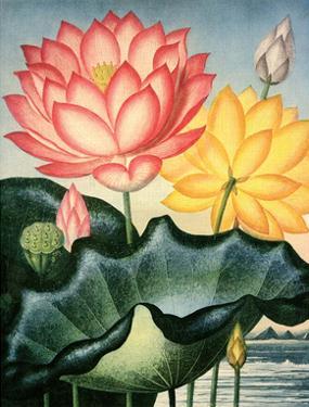 Botanical Print, The Sacred Egyptian Bean by Peter Charles Henderson