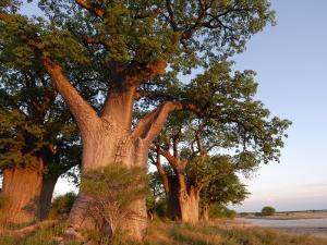 Baines Baobabs, Nxai Pan, Botswana, Africa by Peter Groenendijk