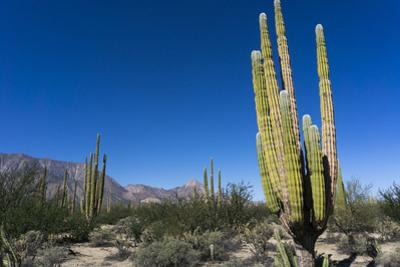 Cacti in dry desert like landscape, Baja California, Mexico, North America by Peter Groenendijk