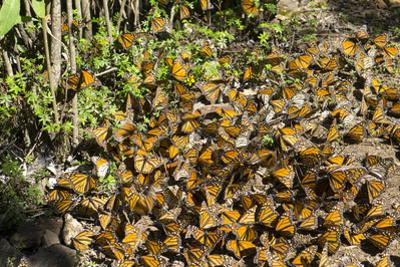 Cerro Pelon Monarch Butterfly Biosphere, UNESCO World Heritage Site, Mexico, North America by Peter Groenendijk