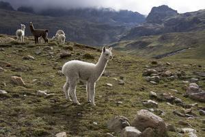 Llamas and Alpacas, Andes, Peru, South America by Peter Groenendijk