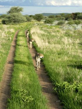 Three Cheetahs Along Path in Etosha National Park, Namibia, Africa by Peter Groenendijk