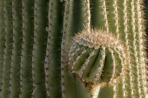 Arizona, Tucson, Tucson Mountain Park by Peter Hawkins