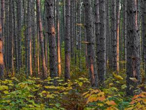 Pine Demonstration Stand, Itasca State Park, Minnesota, USA by Peter Hawkins