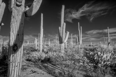 USA, Arizona, Tucson, Saguaro National Park by Peter Hawkins