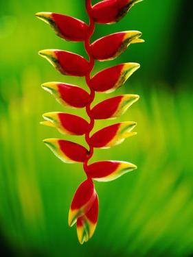 Heliconia Flower, Nadi, Fiji by Peter Hendrie