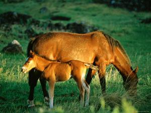 Mare and Foal, Easter Island, Valparaiso, Chile by Peter Hendrie